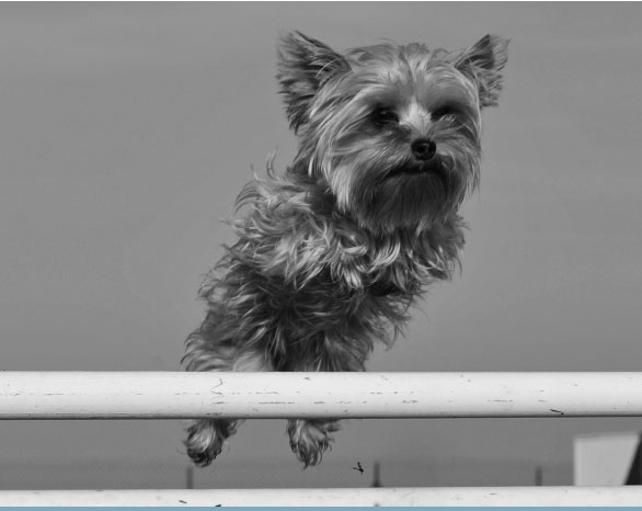 yorkie jumping over bar