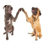 Two large dogs sitting side by side and giving a high five with their paws.