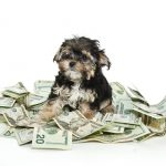 Photo of yorkie sitting in middle of a pile of $20 bills