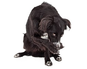 Border collie dog covering his face with his right paw.