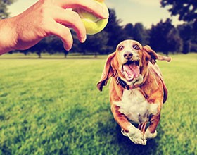 Basset Hound dog running with his tongue hanging out, approaching a person holding a tennis ball.