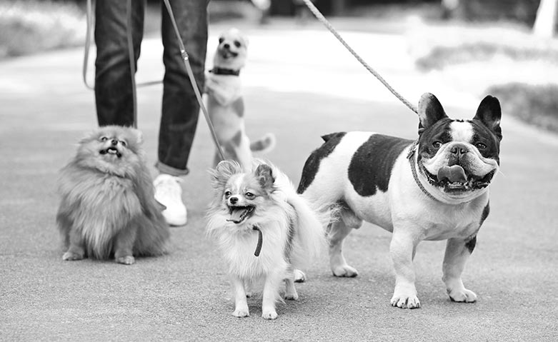 dog walker with 4 dogs on a leash