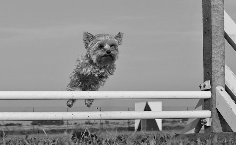 Small dog leaping over a hurdle