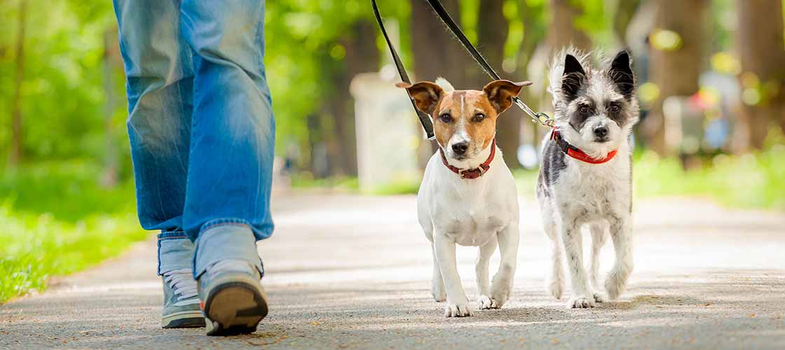 Picture of two small dogs on leash being walked on pavement