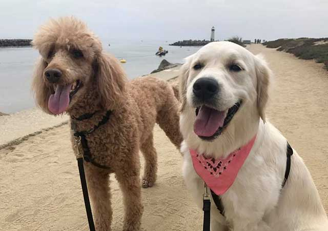 Photo of a poodle and golden retriever on the beach with a lighthouse in the background