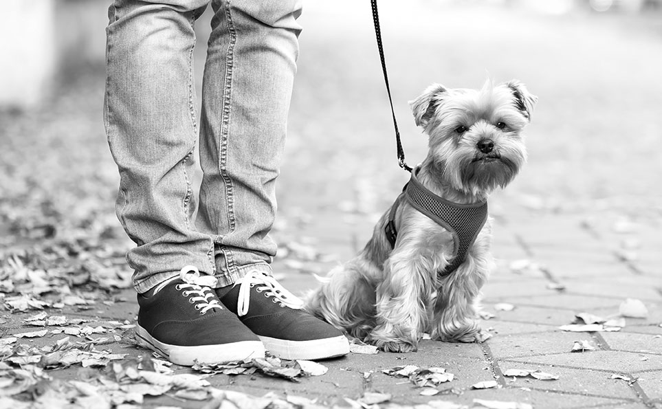 photo of yorkie in harness being walked